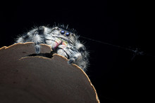 Close-up Of A Jumping Spider, ...