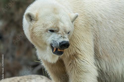 Canvastavla Angry polar bear