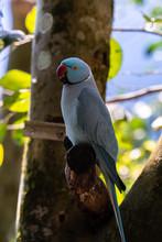 Blue Ring-necked Parakeet (Psittacula Krameri)