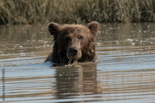 Fotografía Brown bear (Ursus arctos) fishing for salmon;  Alaska