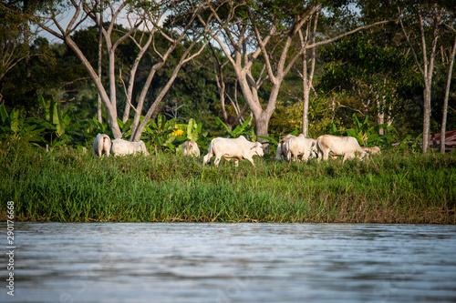ganado vacuno a orillas del rio Guaviare en guainia y vichada Canvas Print