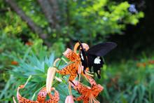 オニユリの花の蜜を吸うモンキアゲハ