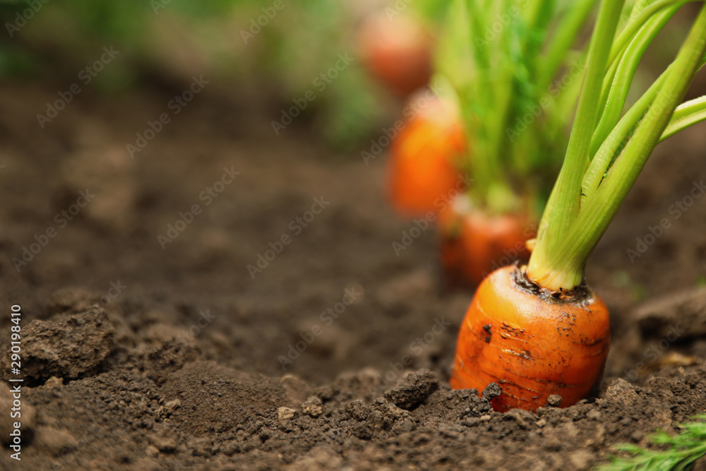 Fototapety, obrazy: Ripe carrots growing in soil, closeup with space for text. Organic farming