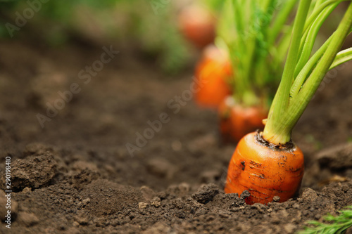 Fototapeta  Ripe carrots growing in soil, closeup with space for text