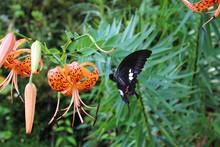 オニユリの花へ向かって飛んでいるモンキアゲハ