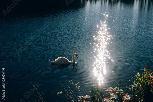 Fotografie, Obraz  Graceful swan swimming in blue water in sparkle sunlight in morning