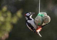 .Larger Woodpecker (Dendrocopos Major) Hangs On A Sebum Ball
