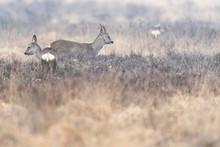Roe Deer Buck And Doe In Moorl...