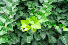 Ivy Hedera Helix Green Creeping Plant Close Up As Background