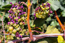 Sunburn And Heat Damage To Grapes On The Vine