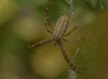Wasp Spider  (Argiope Bruennic...