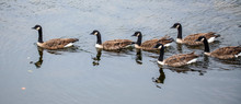 Canada Geese On The River Teif...