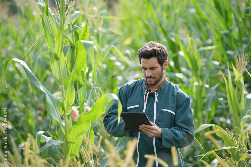 Fototapety, obrazy: Farmer checking on corn crops