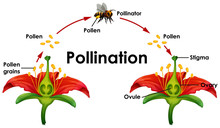 Diagram Showing Pollination Wi...