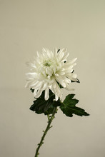 White Chrysanthemum On White Background