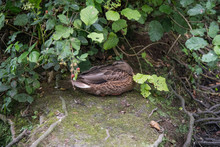 Female Mallard Duck Resting On...
