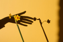 Flower Casting Shadow On Yellow Background