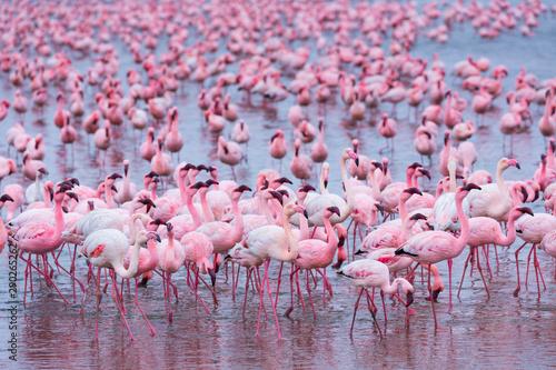 Poster Flamingo Flamingos, Salinas, Walvis Bay, Namibia, Africa