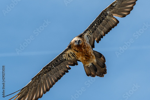 Photo An adult bearded vulture in flight, alps in South Tyrol