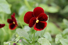 Pansies. The Violet Is Three-colored. Flower With 5 Petals Of Red-burgundy Color.