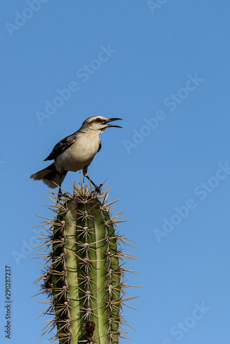 Obraz na płótnie Singing tropical mockingbird