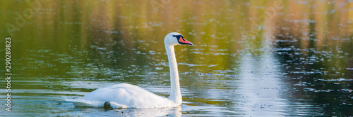 White swan in the water of pond