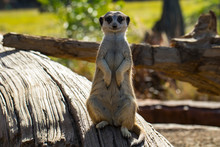 Meercat Standing On The Log