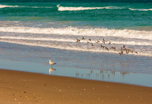 Flying Sanderlings And Seagull At Ocean Shoreline