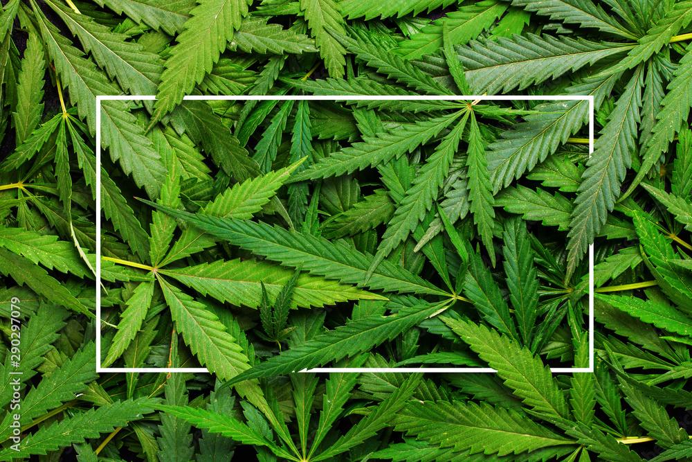 Fototapety, obrazy: Cannabis leaves background