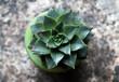 Small succulent pot plant