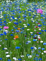 Fototapeta Łąka Centaurea cyanus Cornflowers and Cosmos growing in a colourful flower meadow