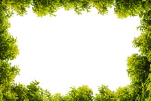 Tree Frame. Green Leaf And Branches Isolated On White Background. Lush And Juicy Dense Foliage Forms A Natural Frame.
