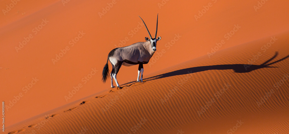Fototapeta Gemsbok or gemsbuck (Oryx gazella), Namib Desert, Namibia, Africa