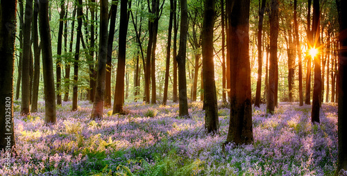 Bluebell wood sunrise