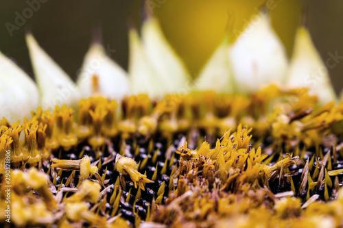 Photo sur Aluminium Tournesol Sunflower with ripe seeds macro close-up