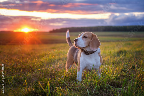 Obraz Portrait of a beagle dog on a background of a beautiful sunset sky. beagle while walking in nature - fototapety do salonu