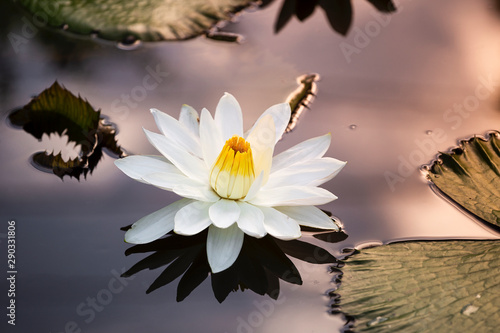 Poster de jardin Nénuphars Beautiful white lotus flower on smooth water surface with morning outdoor day light, nature background