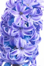 Beautiful Blue Flowers Hyacint...