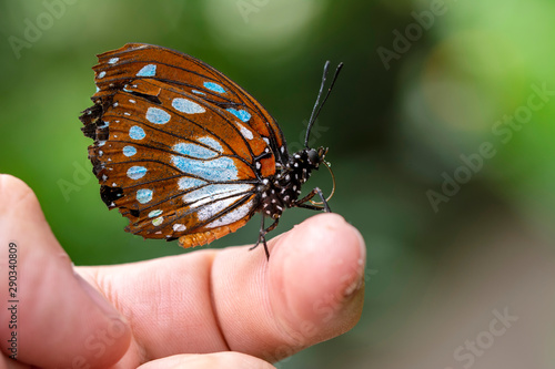 Photo Stands Butterfly Amazing moment , Butterfly, pupae and cocoons are suspended. Concept transformation of Butterfly