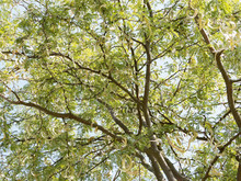 Honey Locust (Gleditsia Triacanthos) With Flat Pods In Late Spring