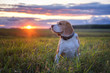 Leinwandbild Motiv Portrait of a beagle dog on a background of a beautiful sunset sky. beagle while walking in nature