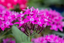 Pentas Lanceolata Or Egyptian ...