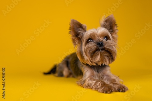 Fototapeta Yorkshire Terrier dog on a yellow background...