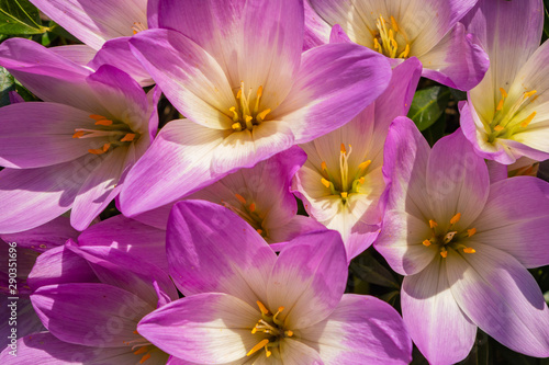 Purple Colchicum grows in the garden. Beautiful blooming purple colchicum autumnale on natural background. close-up, top view - 290351696