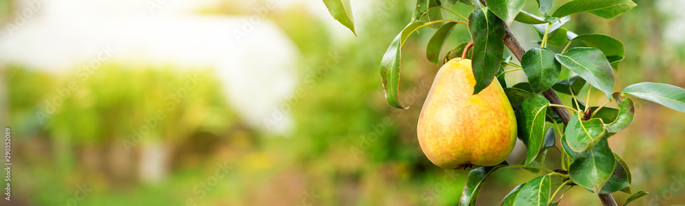 Fototapety, obrazy: Ripe pear growing at the orchard, nobody