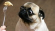 Funny portrait of a surprised and hungry pug, girl teases a dog with food, hypnotizes moving food in front of the muzzle, pug want to eat