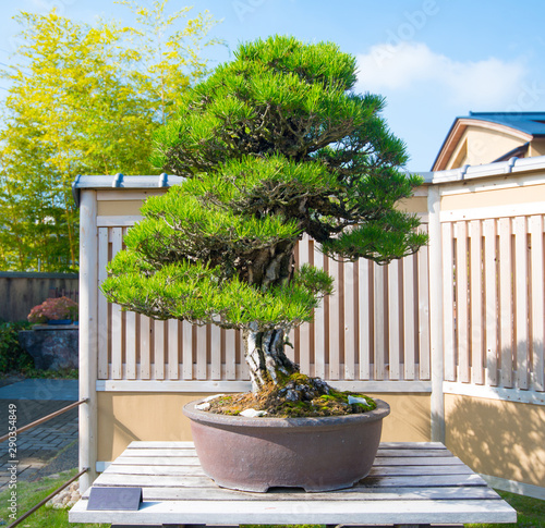 Foto auf Leinwand Bonsai Japanese Black pine bonsai tree in Omiya bonsai village at Saitama, Japan