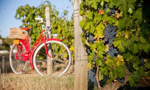 Velo Vigne au soleil avant les vendanges