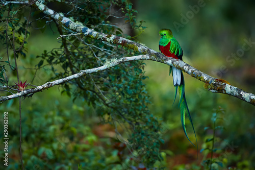 Cuadros en Lienzo Resplendent Quetzal, Pharomachrus mocinno