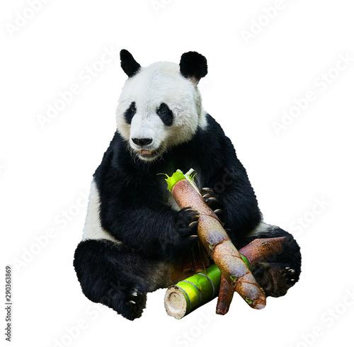Poster Panda Beautiful shot of a Giant panda (Ailuropoda melanoleuca) or Panda Bear. Sitting bear eating a large piece of bamboo. Endangered animal on white background.